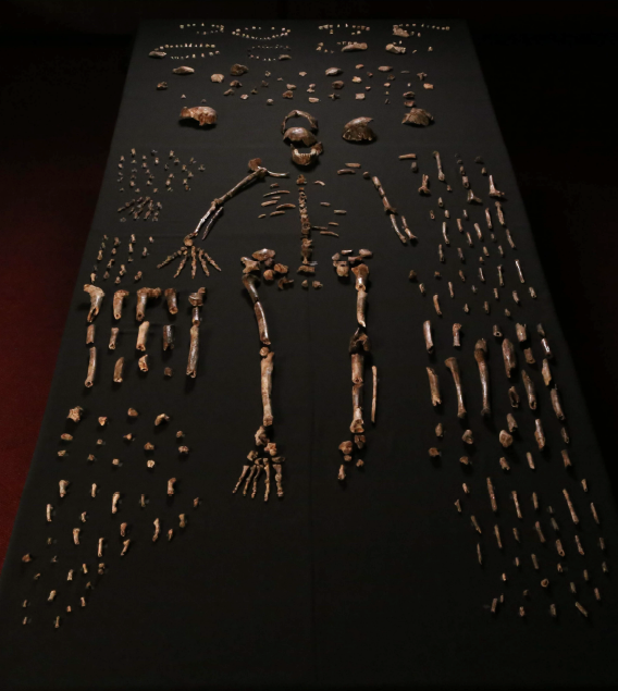 Homo naledi: The discovery of a new Hominid species in SouthAfrica